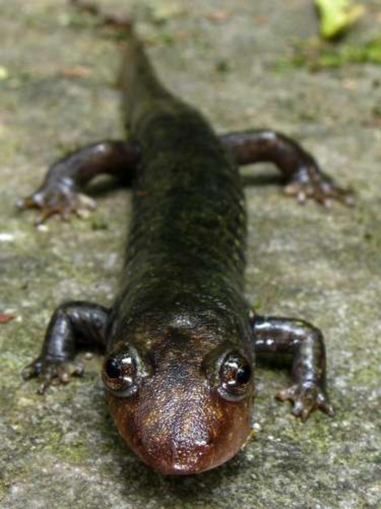 Black bellied salamander